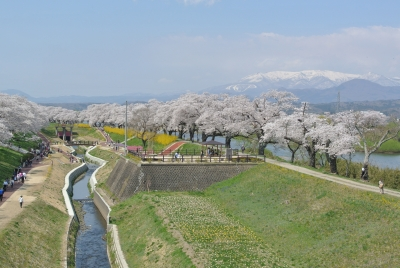 soku_34956.jpg :: 宮城県 一目千本桜 植物 花 桜 サクラ 満開