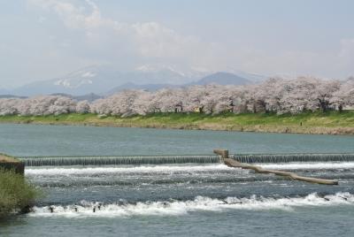 soku_34959.jpg :: 宮城県 一目千本桜 植物 花 桜 サクラ 満開