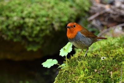 soku_34960.jpg :: 動物 鳥 野鳥 自然の鳥 コマドリ