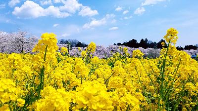 soku_34962.jpg :: 植物 花 菜の花