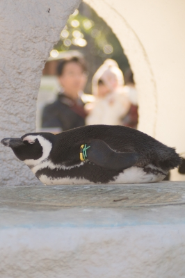 soku_34965.jpg :: 動物 鳥 ペンギン
