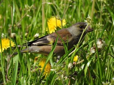 soku_34967.jpg :: 動物 鳥 野鳥 自然の鳥 カワラヒワ