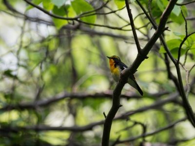 soku_34971.jpg :: 動物 鳥 野鳥 自然の鳥 キビタキ