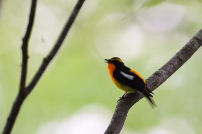 soku_34973.jpg :: 動物 鳥 野鳥 自然の鳥 キビタキ