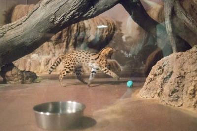soku_34976.jpg :: 5D4 70-200G2 のんほいパーク 動物園 サーバル