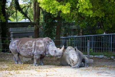 soku_34977.jpg :: 5D4 70-200G2 のんほいパーク 動物園 シロサイ