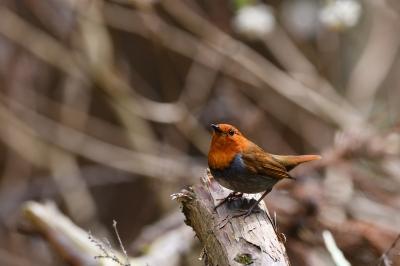 soku_34985.jpg :: 動物 鳥 野鳥 自然の鳥 コマドリ