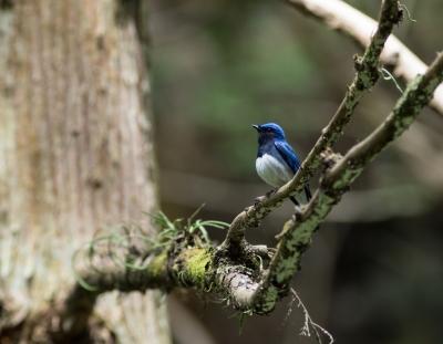 soku_34988.jpg :: 動物 鳥 野鳥 自然の鳥 オオルリ