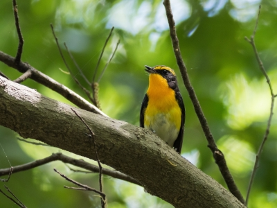soku_34989.jpg :: 動物 鳥 野鳥 自然の鳥 キビタキ