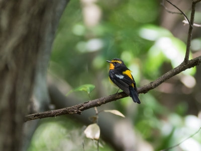 soku_34990.jpg :: 動物 鳥 野鳥 自然の鳥 キビタキ