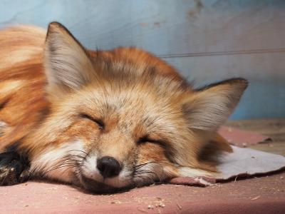 soku_34999.jpg :: 動物 哺乳類 狐 キツネ