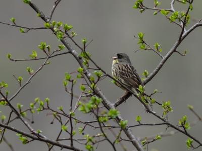 soku_35018.jpg :: 動物 鳥 野鳥 自然の鳥 アオジ