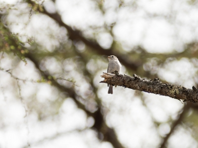 soku_35019.jpg :: 動物 鳥 野鳥 自然の鳥 コサメビタキ