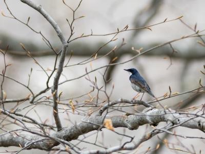 soku_35020.jpg :: 動物 鳥 野鳥 自然の鳥 コルリ