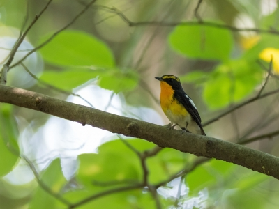 soku_35031.jpg :: 動物 鳥 野鳥 自然の鳥 キビタキ