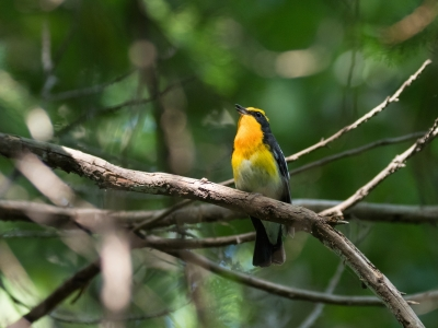 soku_35032.jpg :: 動物 鳥 野鳥 自然の鳥 キビタキ