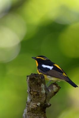 soku_35052.jpg :: 動物 鳥 野鳥 自然の鳥 キビタキ