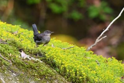 soku_35053.jpg :: 動物 鳥 野鳥 自然の鳥 カワガラス 幼鳥