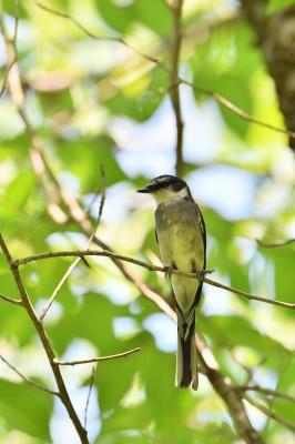 soku_35054.jpg :: 動物 鳥 野鳥 自然の鳥 リュウキュウサンショウクイ