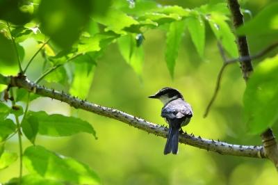 soku_35055.jpg :: 動物 鳥 野鳥 自然の鳥 リュウキュウサンショウクイ