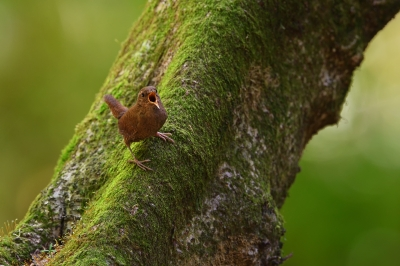 soku_35065.jpg :: 動物 鳥 野鳥 自然の鳥 ミソサザイ