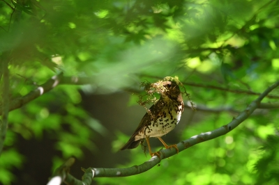 soku_35066.jpg :: 動物 鳥 野鳥 自然の鳥 クロツグミ