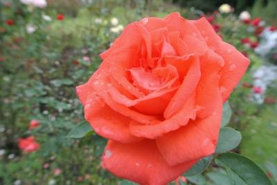 soku_35086.jpg :: 植物 花 薔薇 バラ