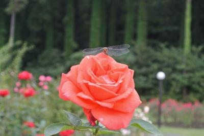 soku_35088.jpg :: 薔薇 トンボ