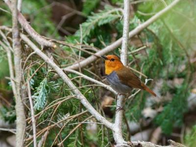 soku_35090.jpg :: 動物 鳥 野鳥 自然の鳥 コマドリ