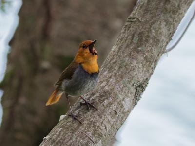 soku_35091.jpg :: 動物 鳥 野鳥 自然の鳥 コマドリ