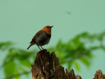 soku_35092.jpg :: 動物 鳥 野鳥 自然の鳥 コマドリ