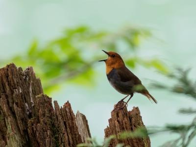 soku_35095.jpg :: 動物 鳥 野鳥 自然の鳥 コマドリ