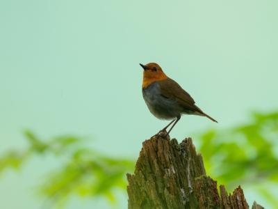 soku_35105.jpg :: 動物 鳥 野鳥 自然の鳥 コマドリ