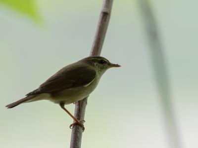 soku_35106.jpg :: 動物 鳥 野鳥 自然の鳥 メボソムシクイ