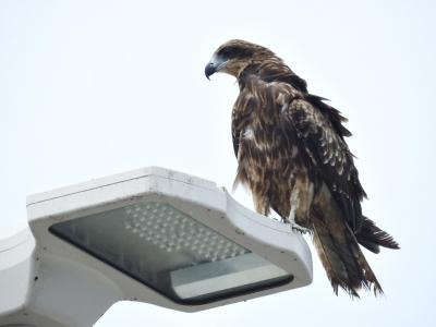 soku_35117.jpg :: 動物 鳥 猛禽類