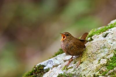 soku_35120.jpg :: 動物 鳥 野鳥 自然の鳥 ミソサザイ