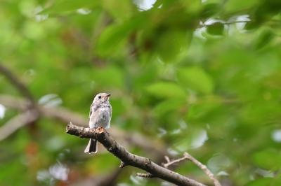 soku_35121.jpg :: 動物 鳥 野鳥 自然の鳥 コサメビタキ 幼鳥