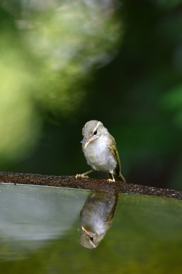 soku_35122.jpg :: 動物 鳥 野鳥 自然の鳥 メボソムシクイ