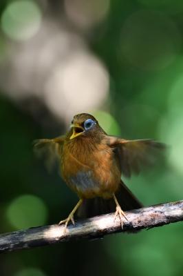 soku_35123.jpg :: 動物 鳥 野鳥 自然の鳥 ガビチョウ
