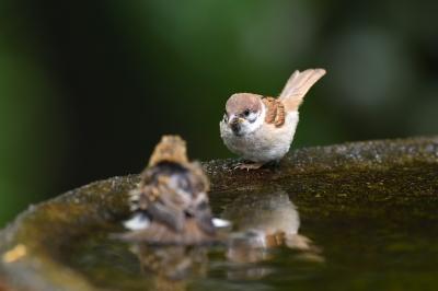 soku_35124.jpg :: 動物 鳥 野鳥 自然の鳥 スズメ