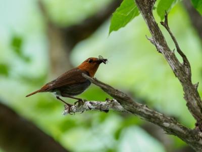 soku_35126.jpg :: 動物 鳥 野鳥 自然の鳥 コマドリ