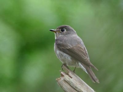 soku_35127.jpg :: 動物 鳥 野鳥 自然の鳥 サメビタキ