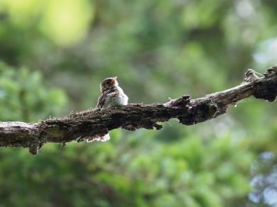 soku_35128.jpg :: 動物 鳥 野鳥 自然の鳥 サメビタキ 幼鳥