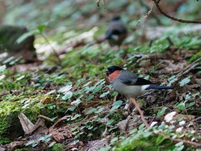 soku_35130.jpg :: 動物 鳥 野鳥 自然の鳥 ウソ
