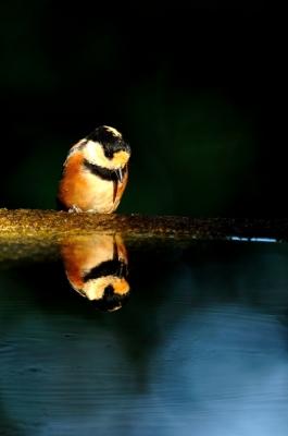 soku_35148.jpg :: 動物 鳥 野鳥 自然の鳥 ヤマガラ