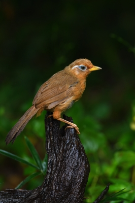 soku_35150.jpg :: 動物 鳥 野鳥 自然の鳥 ガビチョウ