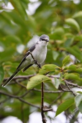 soku_35164.jpg :: 動物 鳥 野鳥 自然の鳥 サンショウクイ