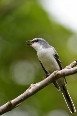 soku_35165.jpg :: 動物 鳥 野鳥 自然の鳥 サンショウクイ