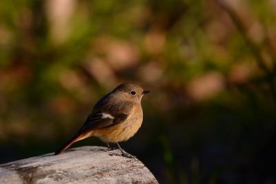soku_35166.jpg :: 動物 鳥 野鳥 自然の鳥