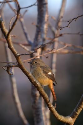soku_35167.jpg :: 動物 鳥 野鳥 自然の鳥